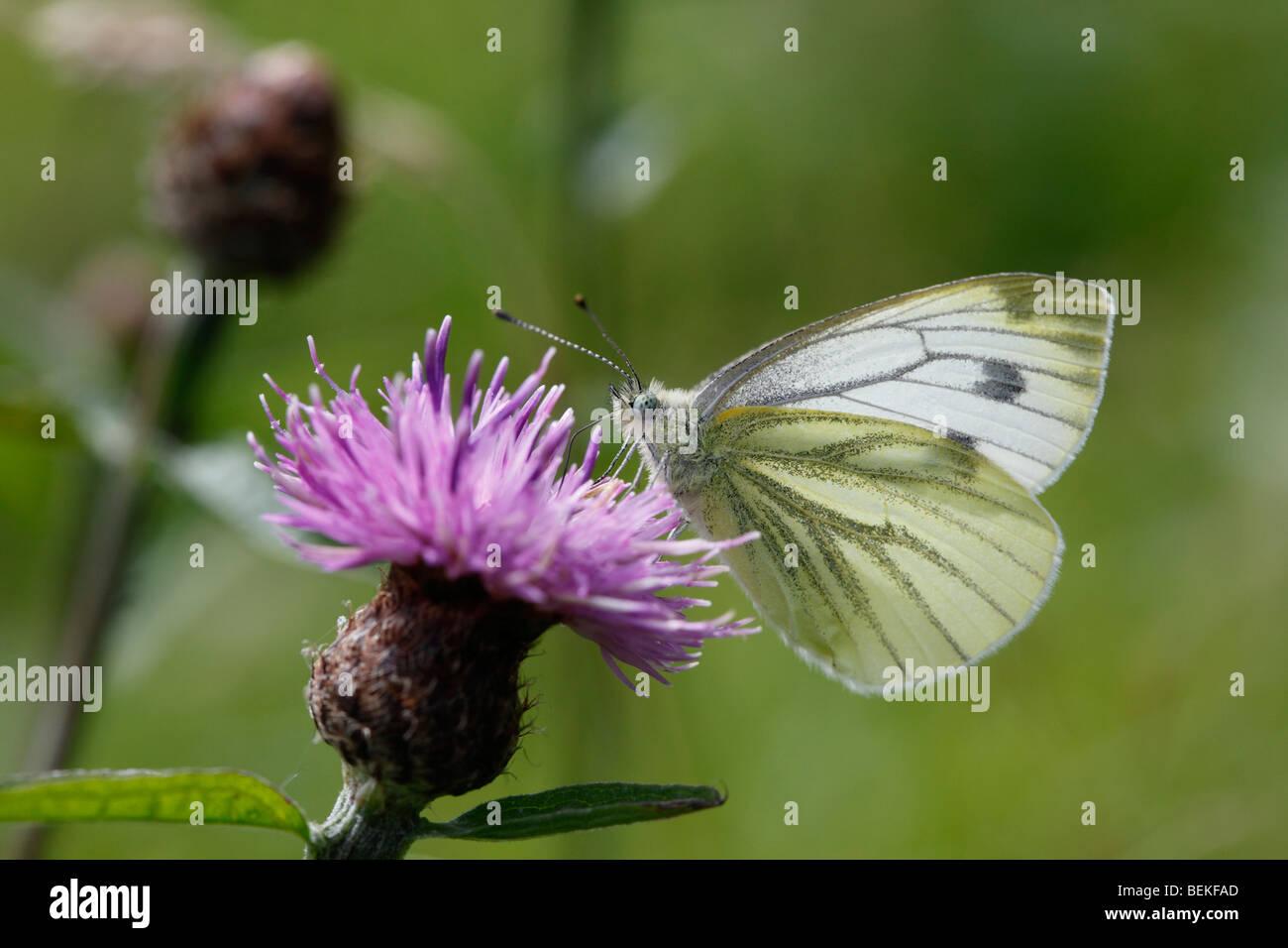 Green veined white (Pieris napi) taking nectar from knapweed - Stock Image