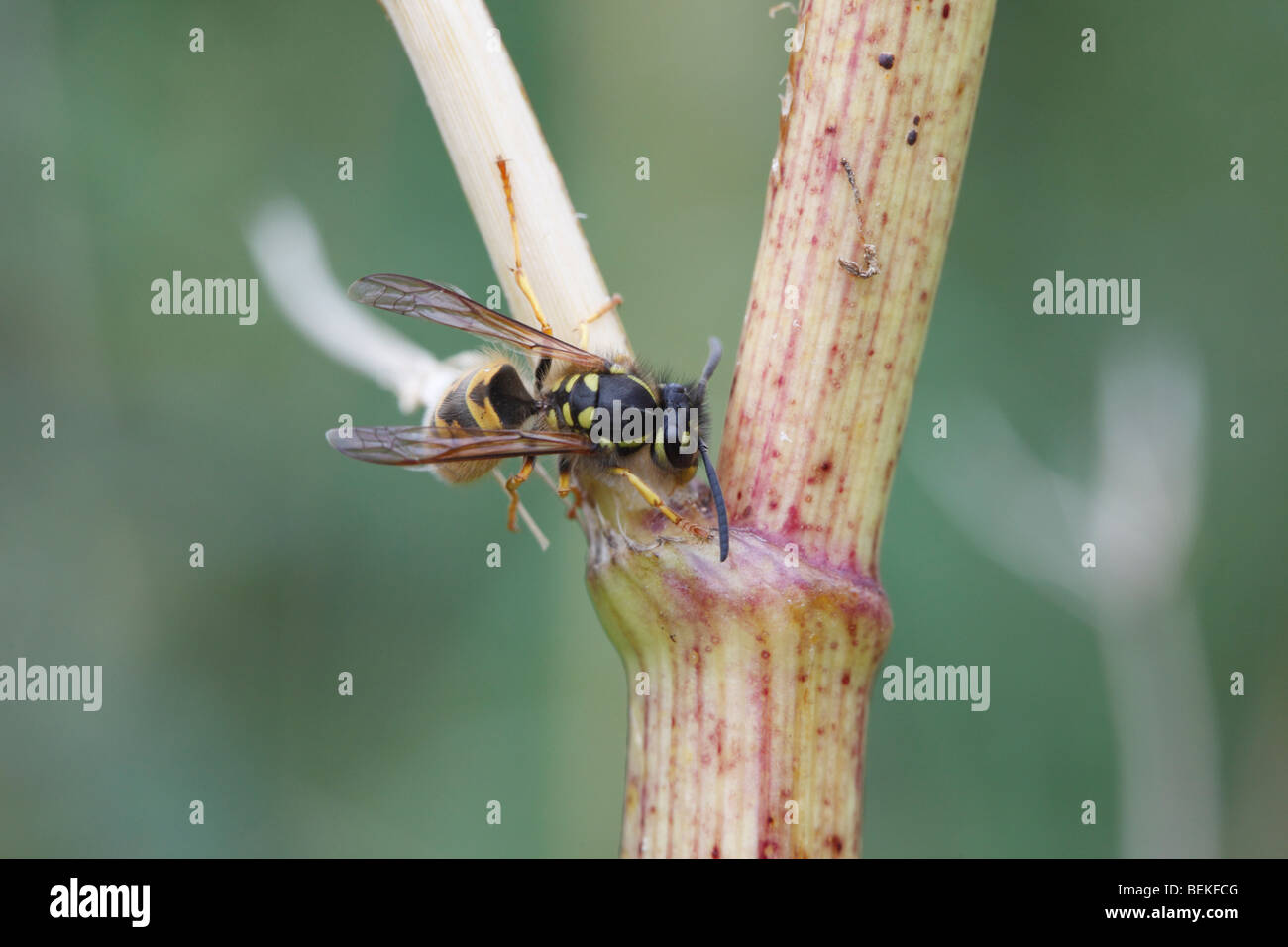 Common wasp (Vespula vulgaris) rasping surface of fools parsley - Stock Image
