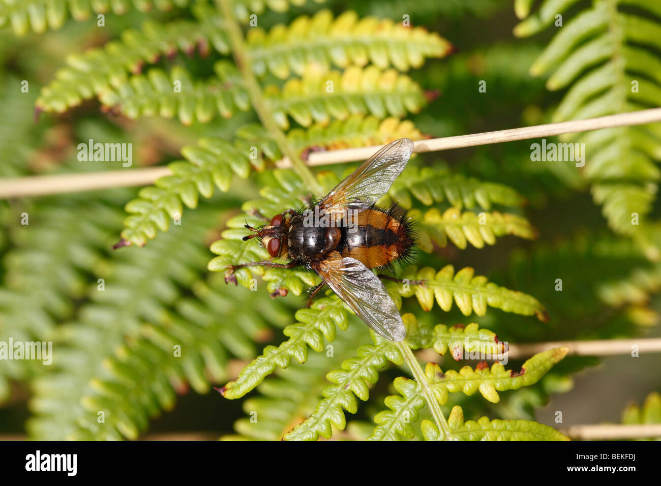 Fly (Tachinsa fera) at rest on bracken frond - Stock Image