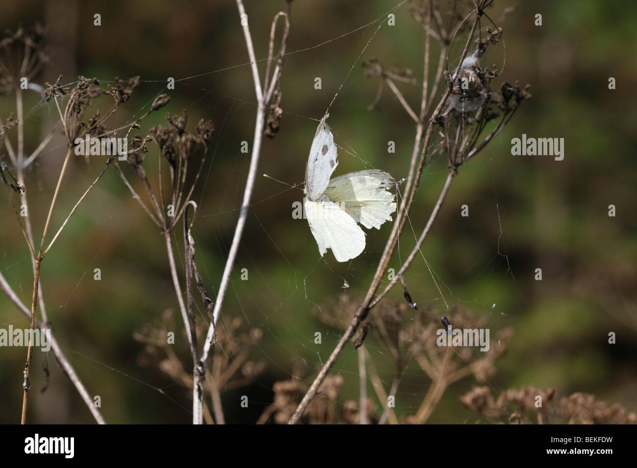 Large white butterfly caught in spiders web - Stock Image