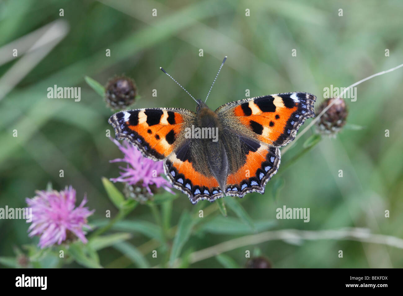 Small tortoiseshell (Aglais urticae) at rest on knapweed - Stock Image