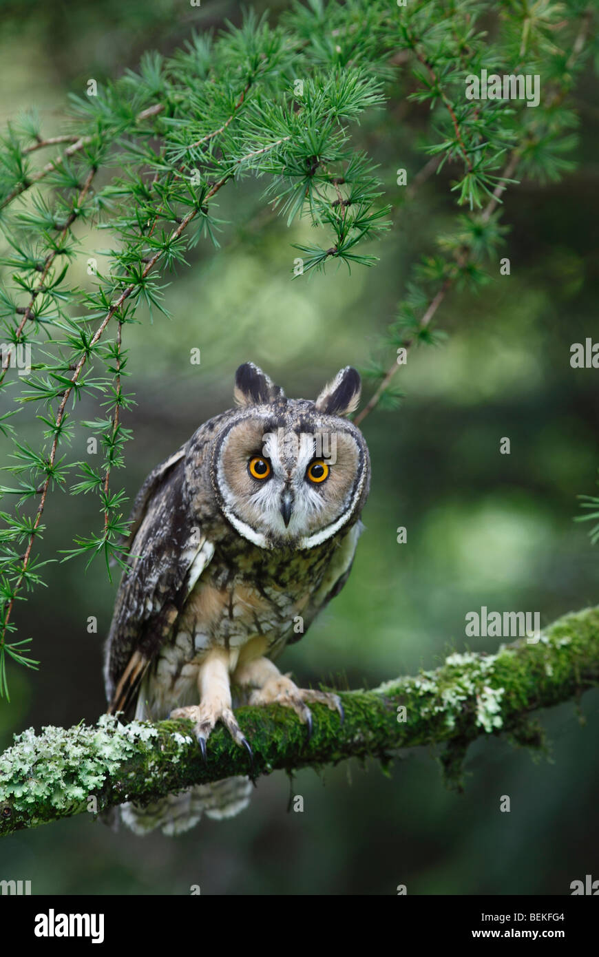 Long eared owl (Asio otus) perching in larch tree front view - Stock Image