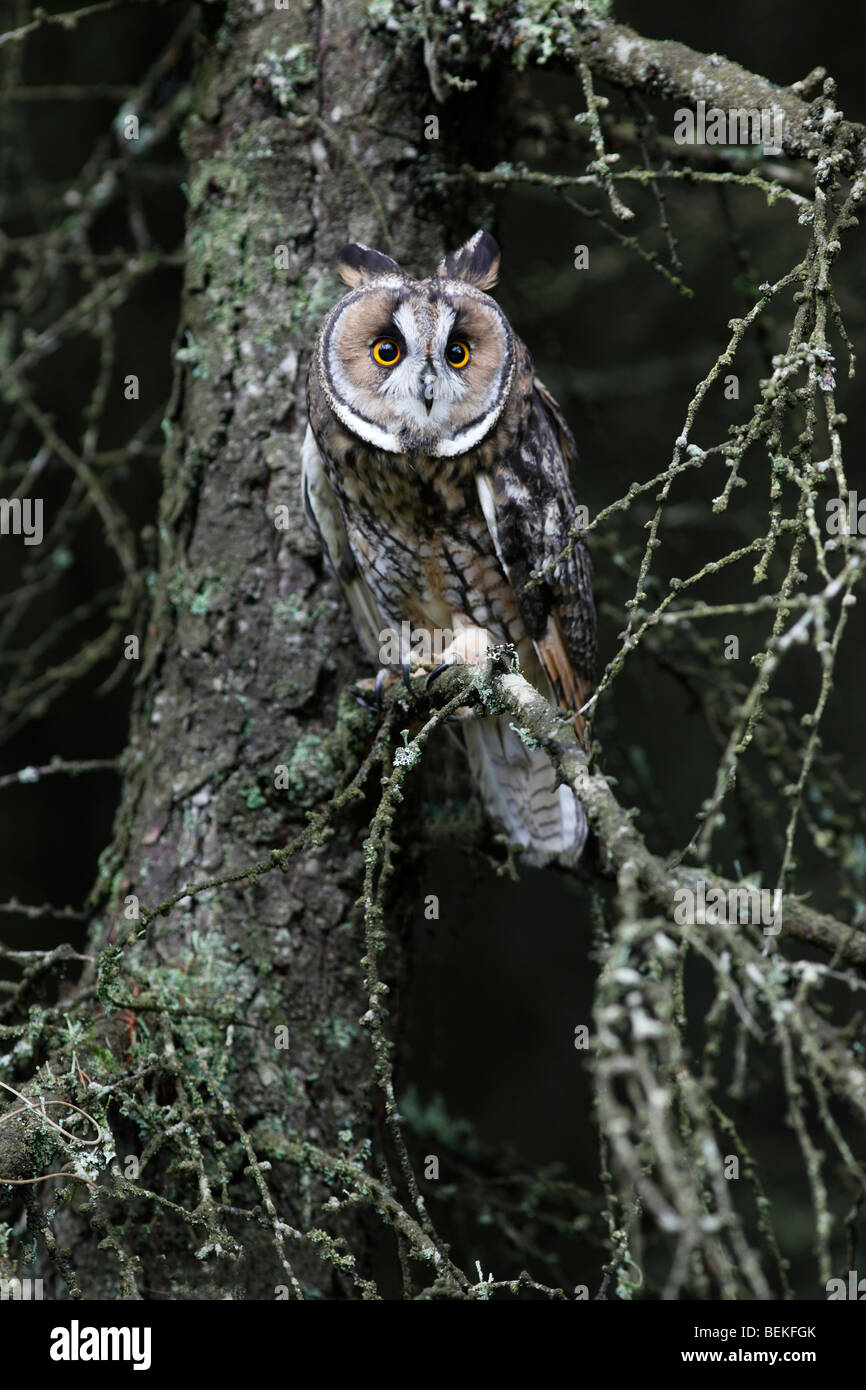 Long eared owl (Asio otus) roosting in larch tree Stock Photo