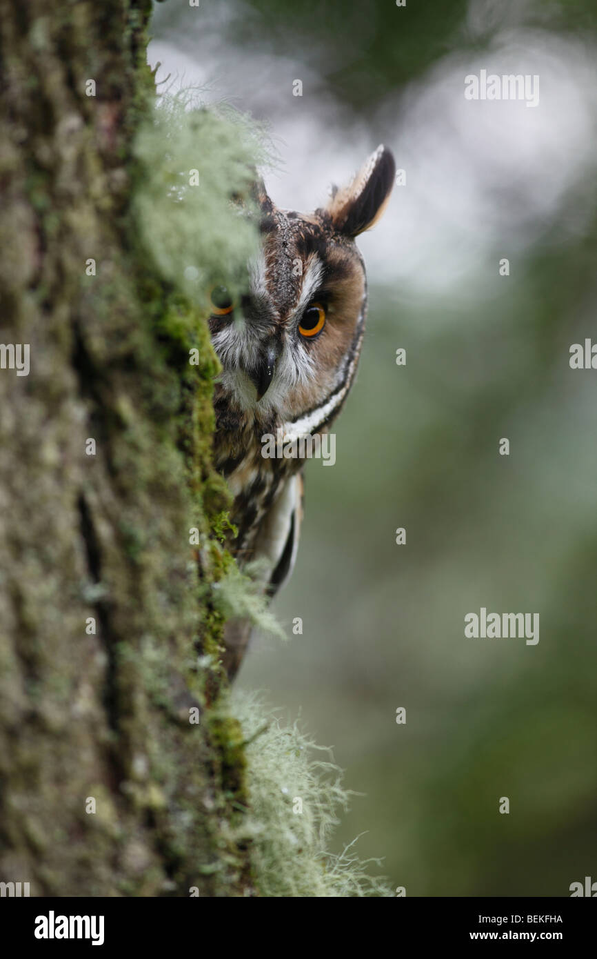 Long eared owl (Asio otus) looking round larch tree trunk - Stock Image