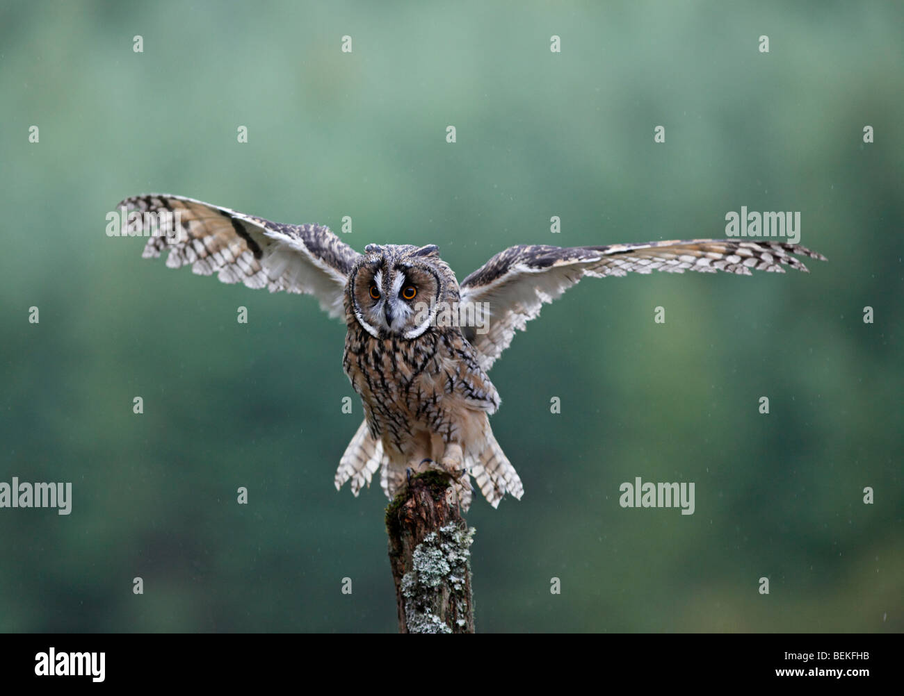 Long eared owl (Asio otus) shaking to remove water from feathers - Stock Image