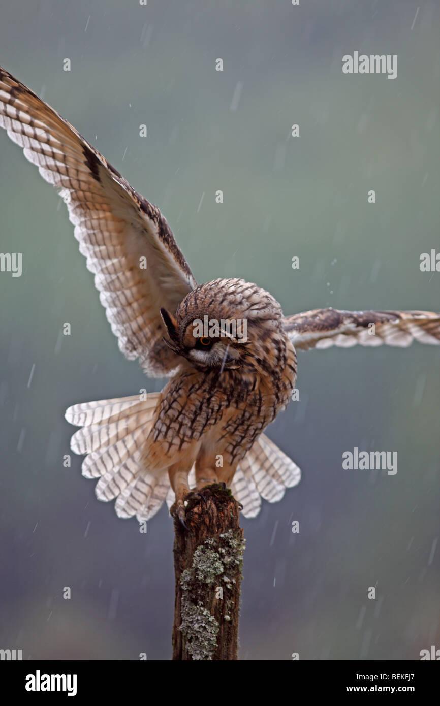 Long eared owl (Asio otus) perching on post in rain wings open - Stock Image