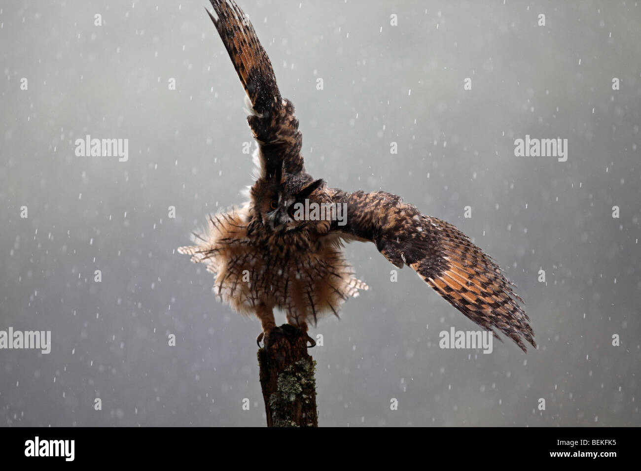 Owl Wings Open Stock Photos Owl Wings Open Stock Images Alamy