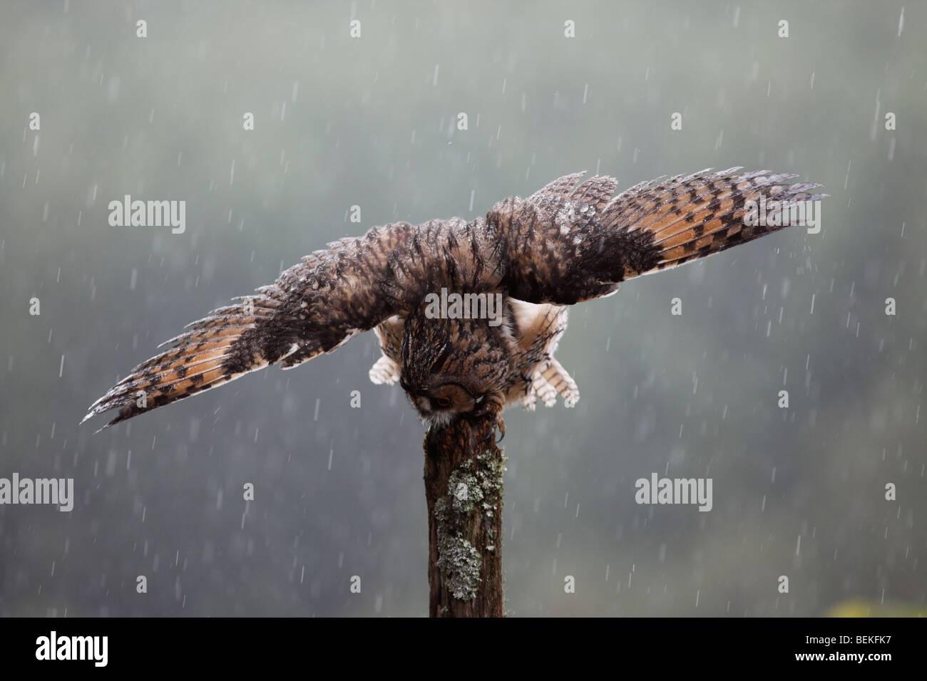 Long eared owl (Asio otus) perching on fence post in rain wings open - Stock Image