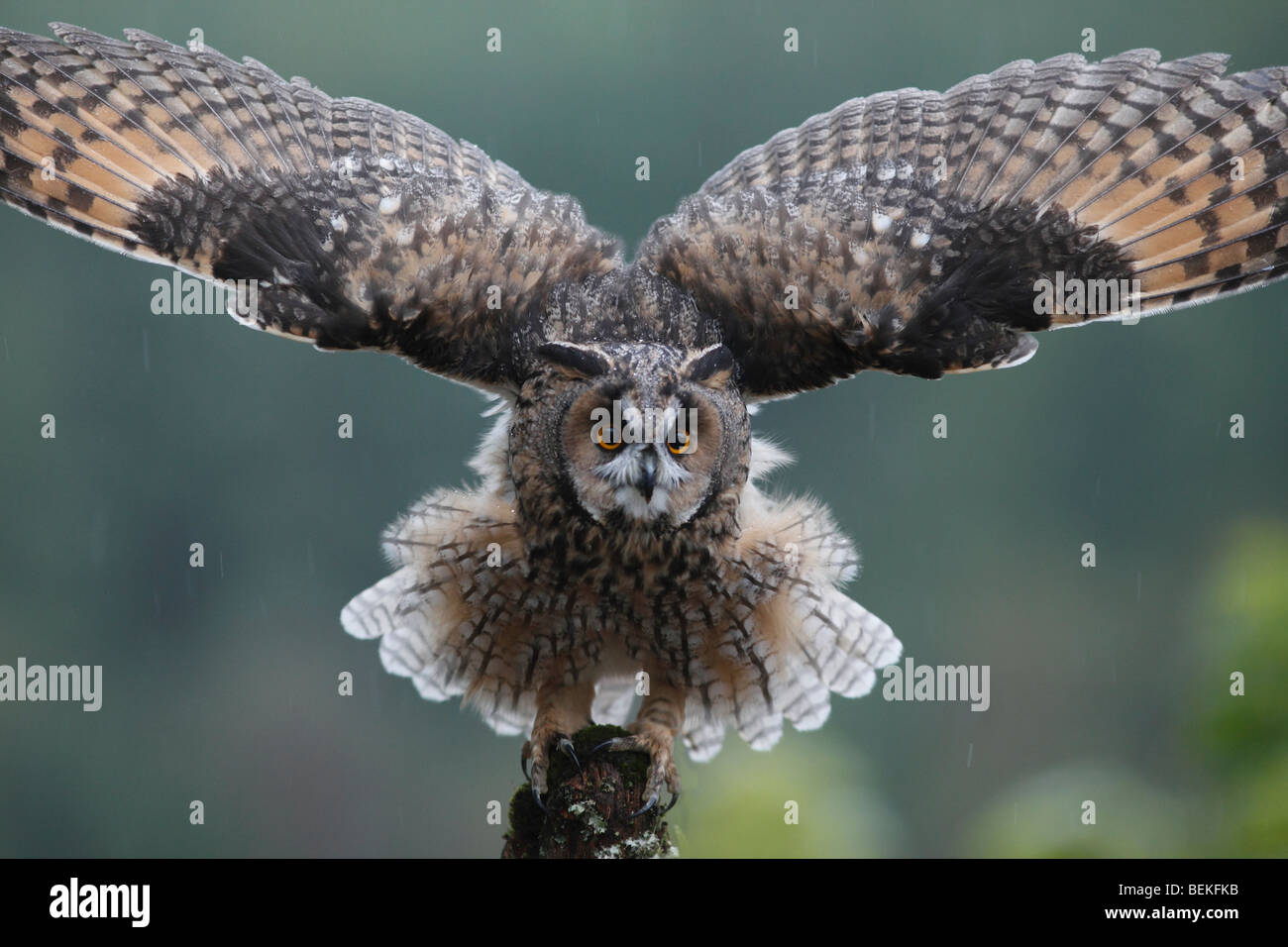 Long eared owl (Asio otus) perching on fence post in rain wings open - Stock Image