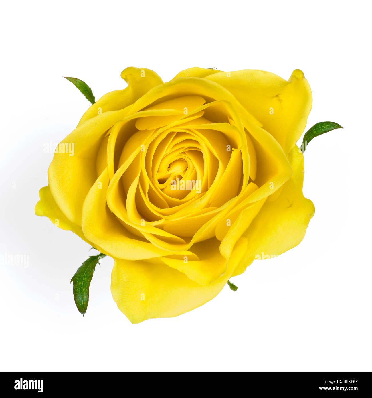 Yellow Rose.Rosaceae - Stock Image