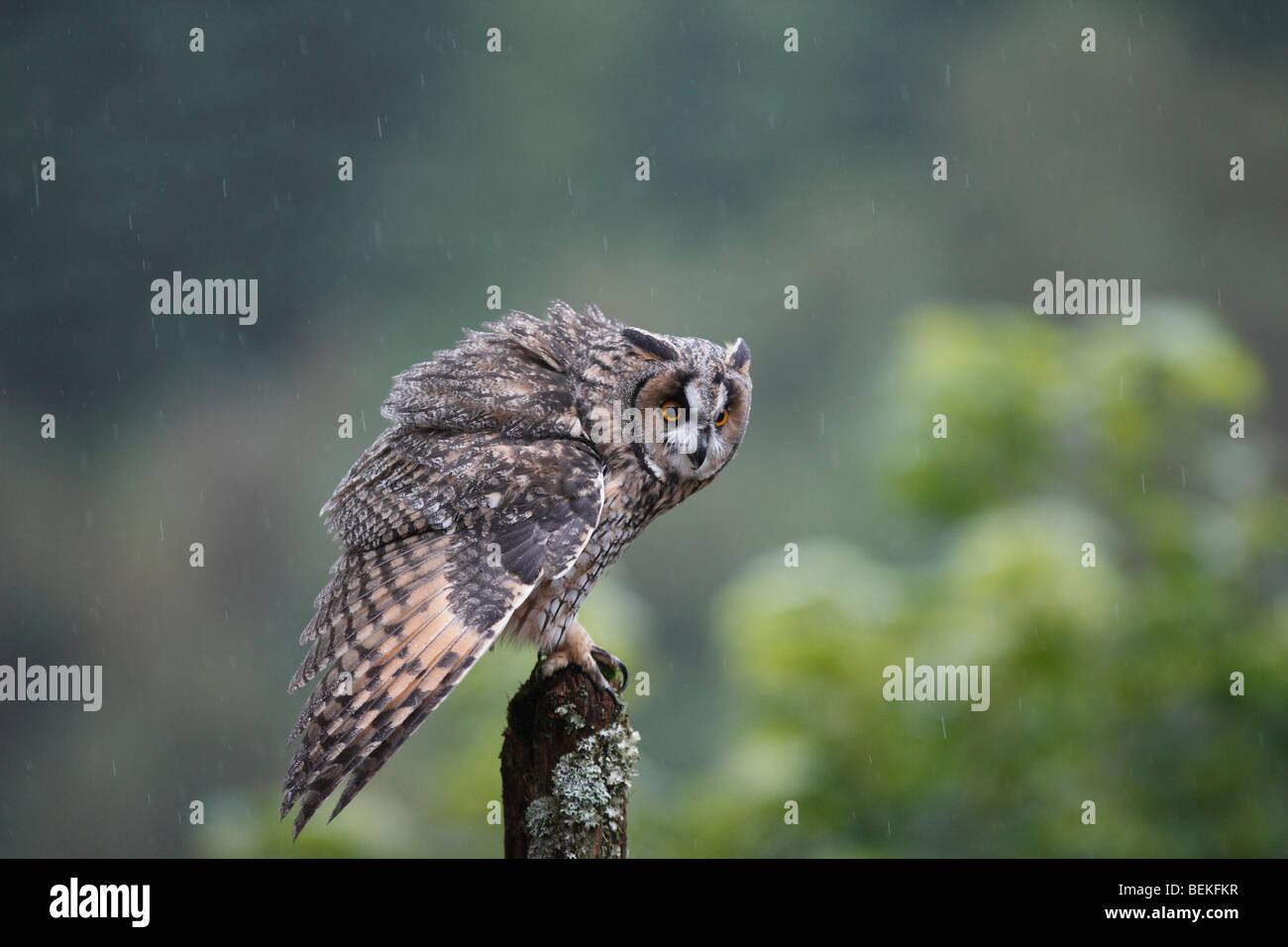 Long eared owl (Asio otus) perching on fence post in rain - Stock Image