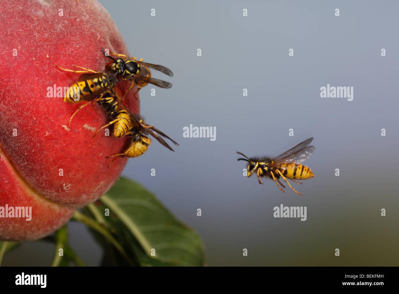 Common wasp (vespula vulgaris) flying to ripe peach Stock Photo
