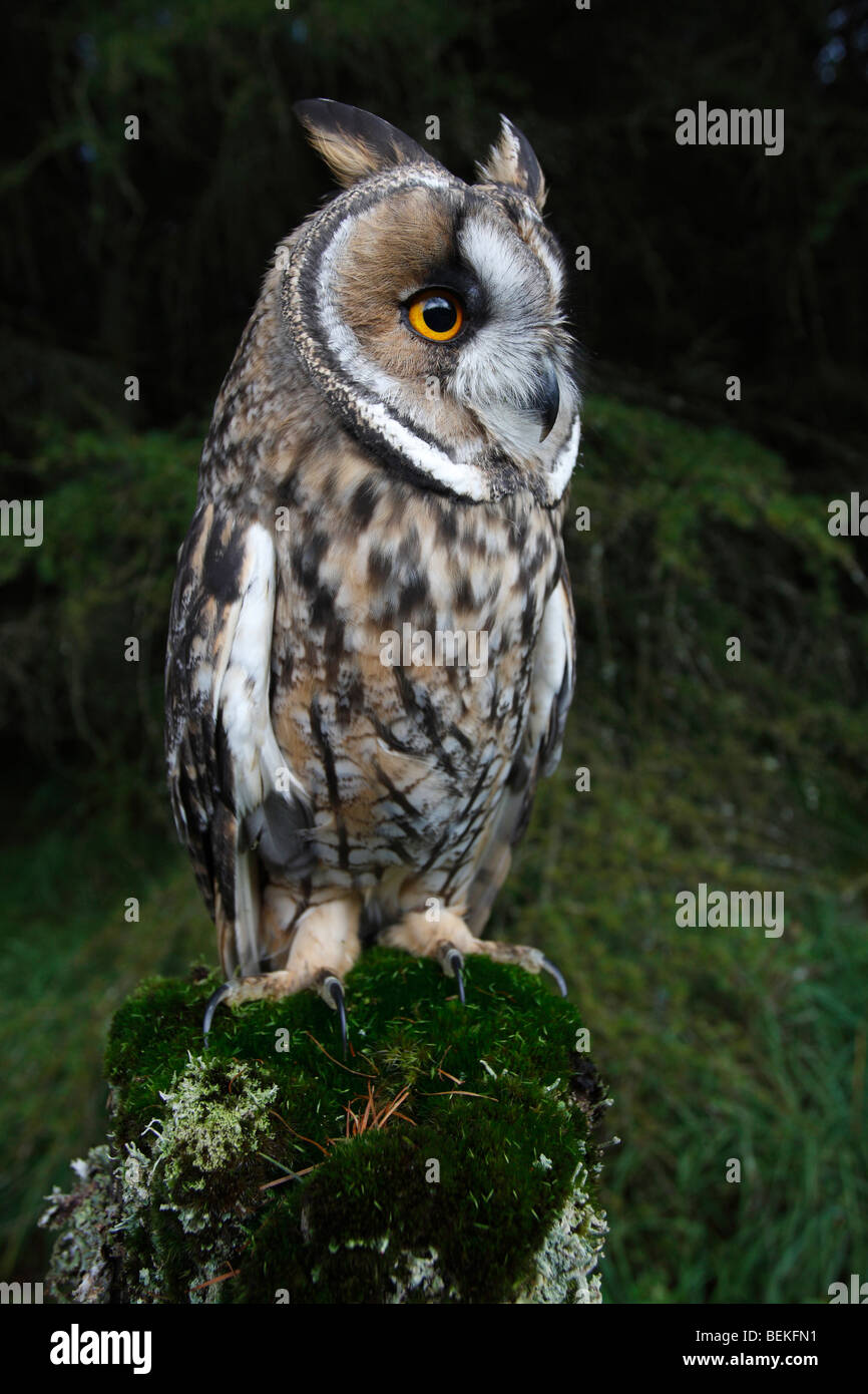 Long eared owl (Asio otus) perching on fence post close up - Stock Image