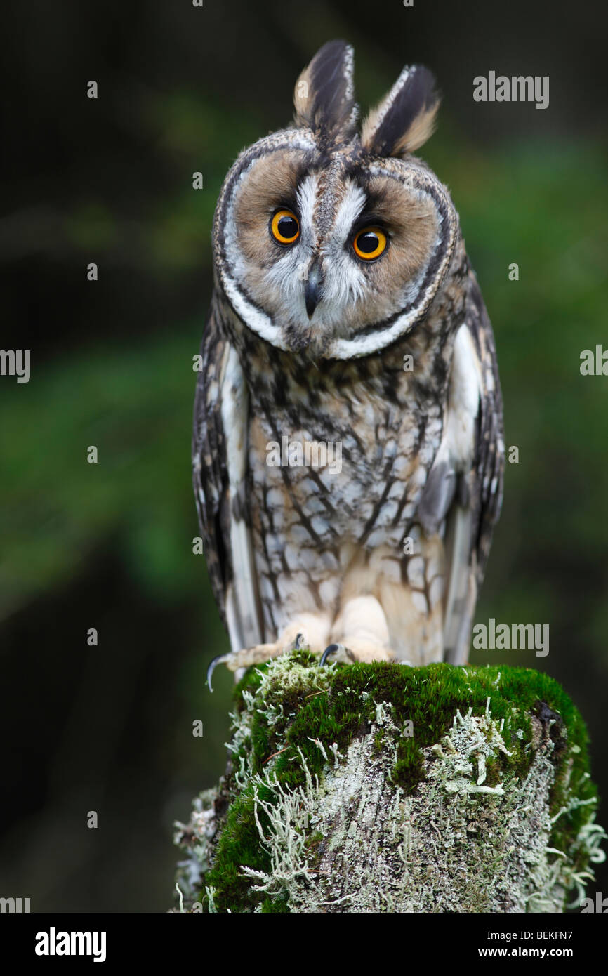 Long eared owl (Asio otus) perching on fence post front view - Stock Image