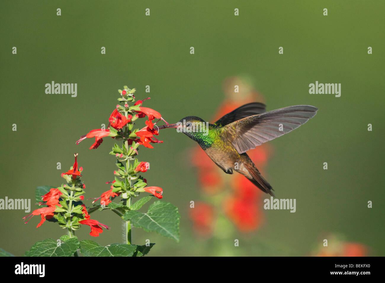 Buff-bellied Hummingbird (Amazilia yucatanenensis), male feeding on Tropical Sage, Sinton, Corpus Christi, Coastal - Stock Image