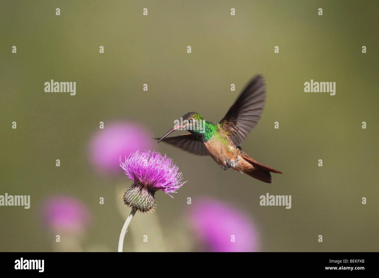 Buff-bellied Hummingbird (Amazilia yucatanenensis), male feeding on Texas thistle, Sinton, Corpus Christi, Coastal - Stock Image