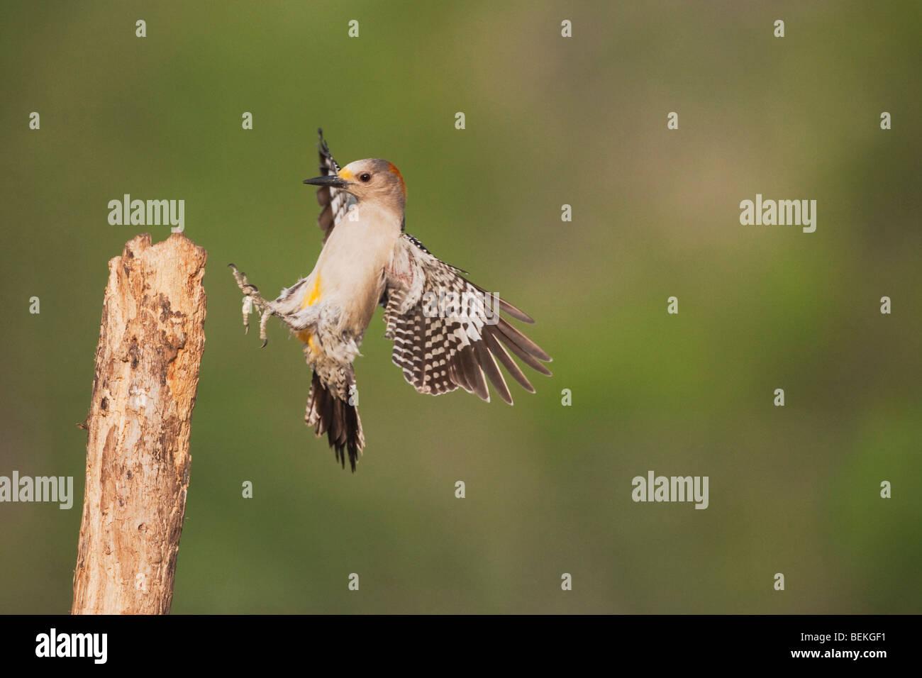 Golden-fronted Woodpecker (Melanerpes aurifrons), female landing, Sinton, Corpus Christi, Coastal Bend, Texas, USA - Stock Image