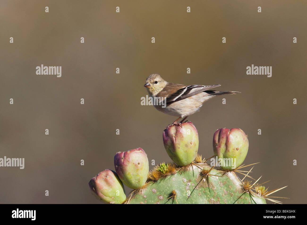 American Goldfinch (Carduelis tristis), adult on cactus in winter plumage, Welder Wildlife Refuge, Sinton, Texas, - Stock Image