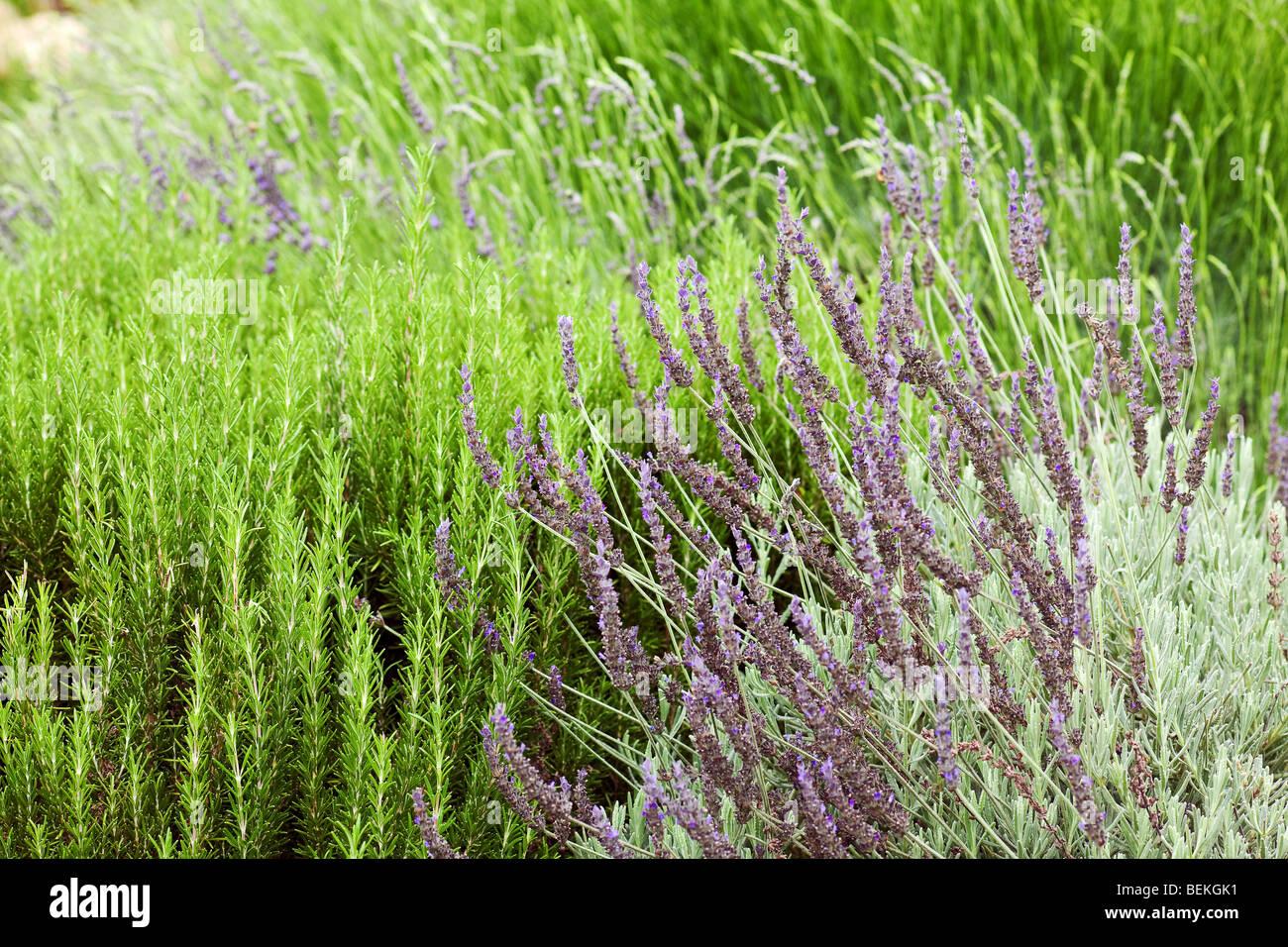 california garden perennials with a green background - Stock Image