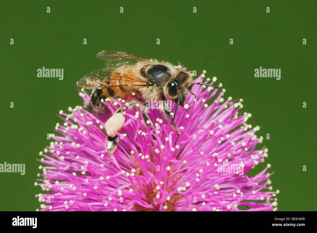 Honey Bee (Apis mellifera), adult feeding on Sensitive Briar (Mimosa nuttallii), Sinton, Corpus Christi, Coastal - Stock Image