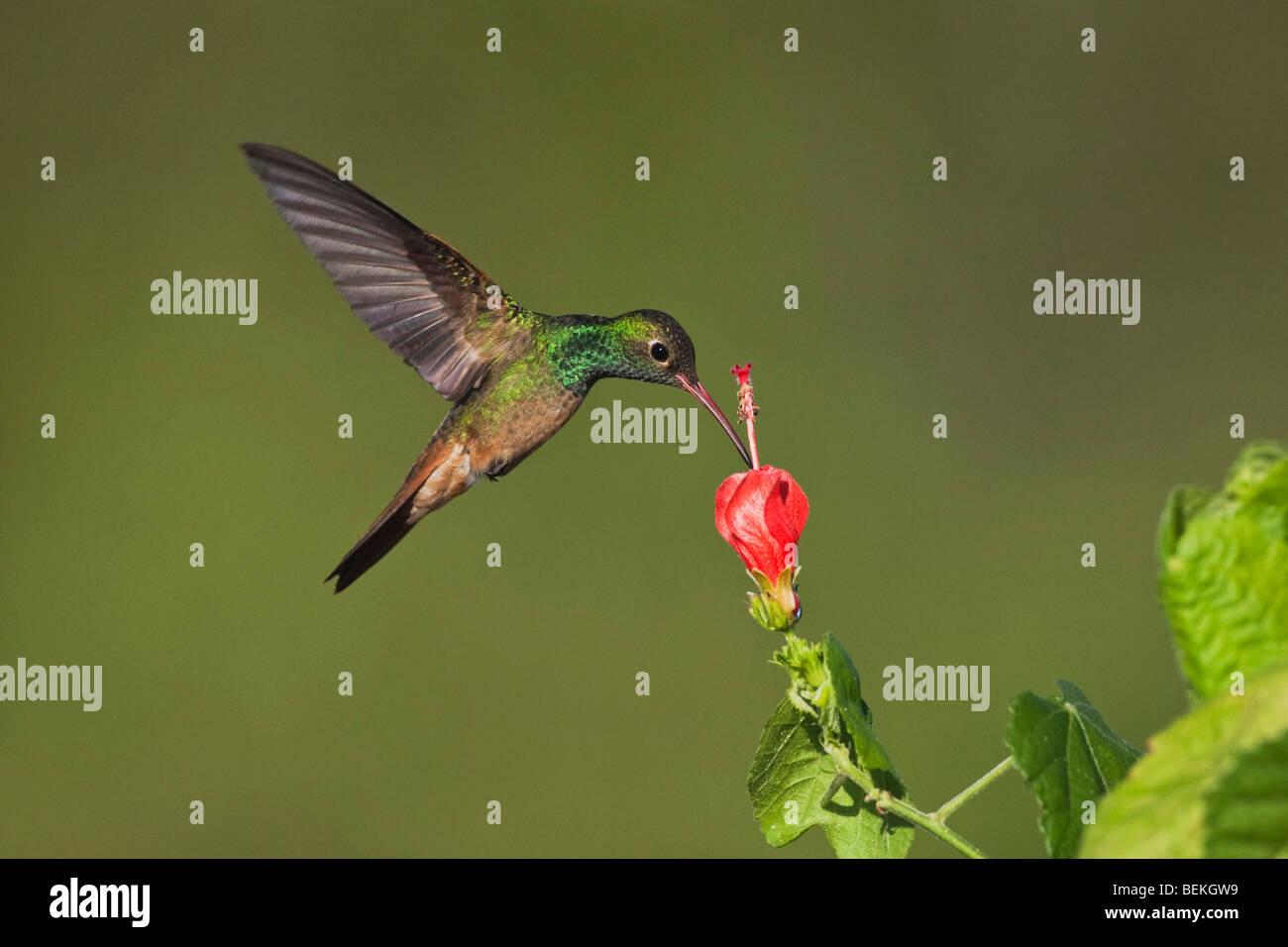 Buff-bellied Hummingbird (Amazilia yucatanenensis), male feeding on Turk's cap, Sinton, Corpus Christi, Coastal - Stock Image