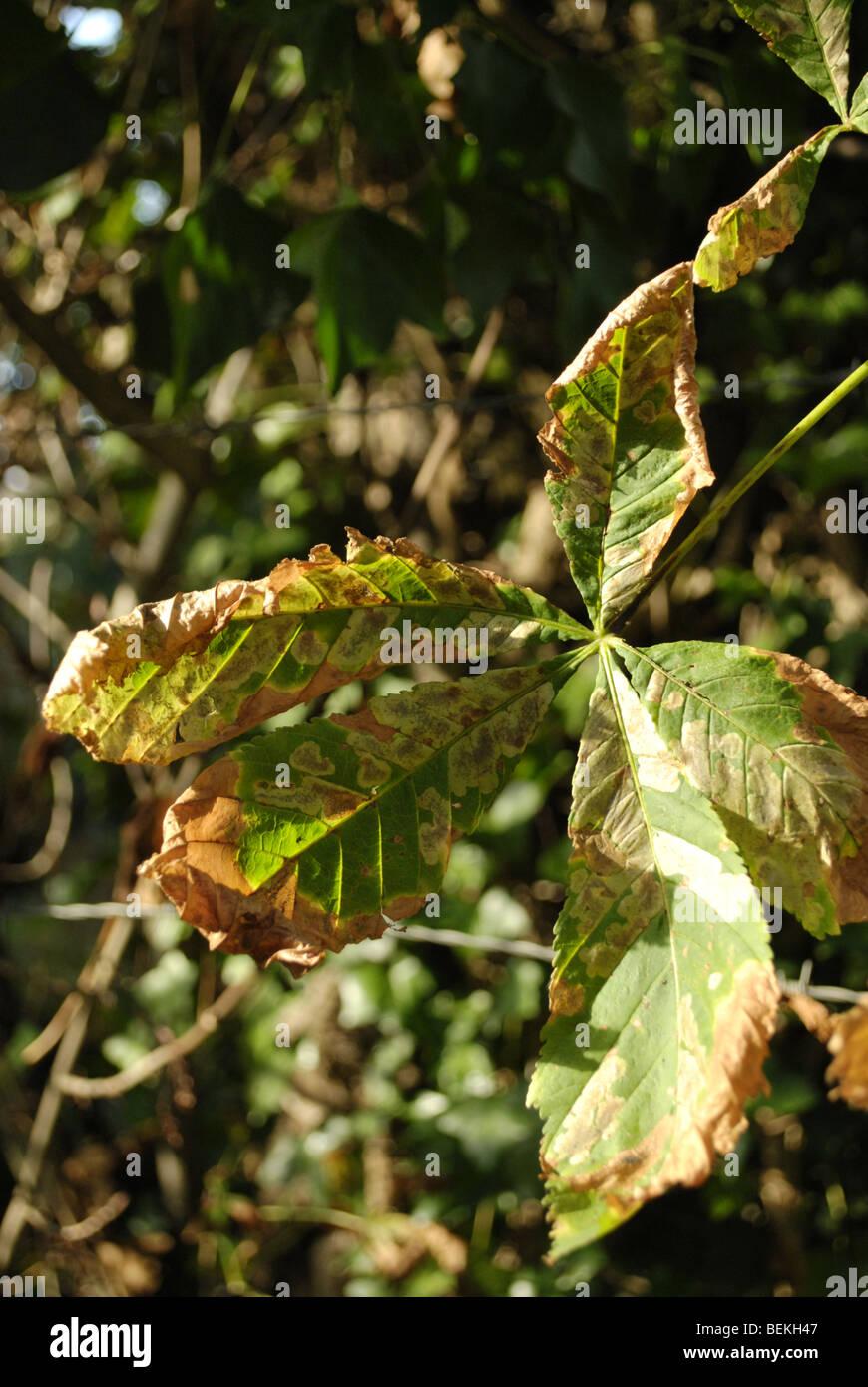 Diseased horse chestnut leaf - Stock Image