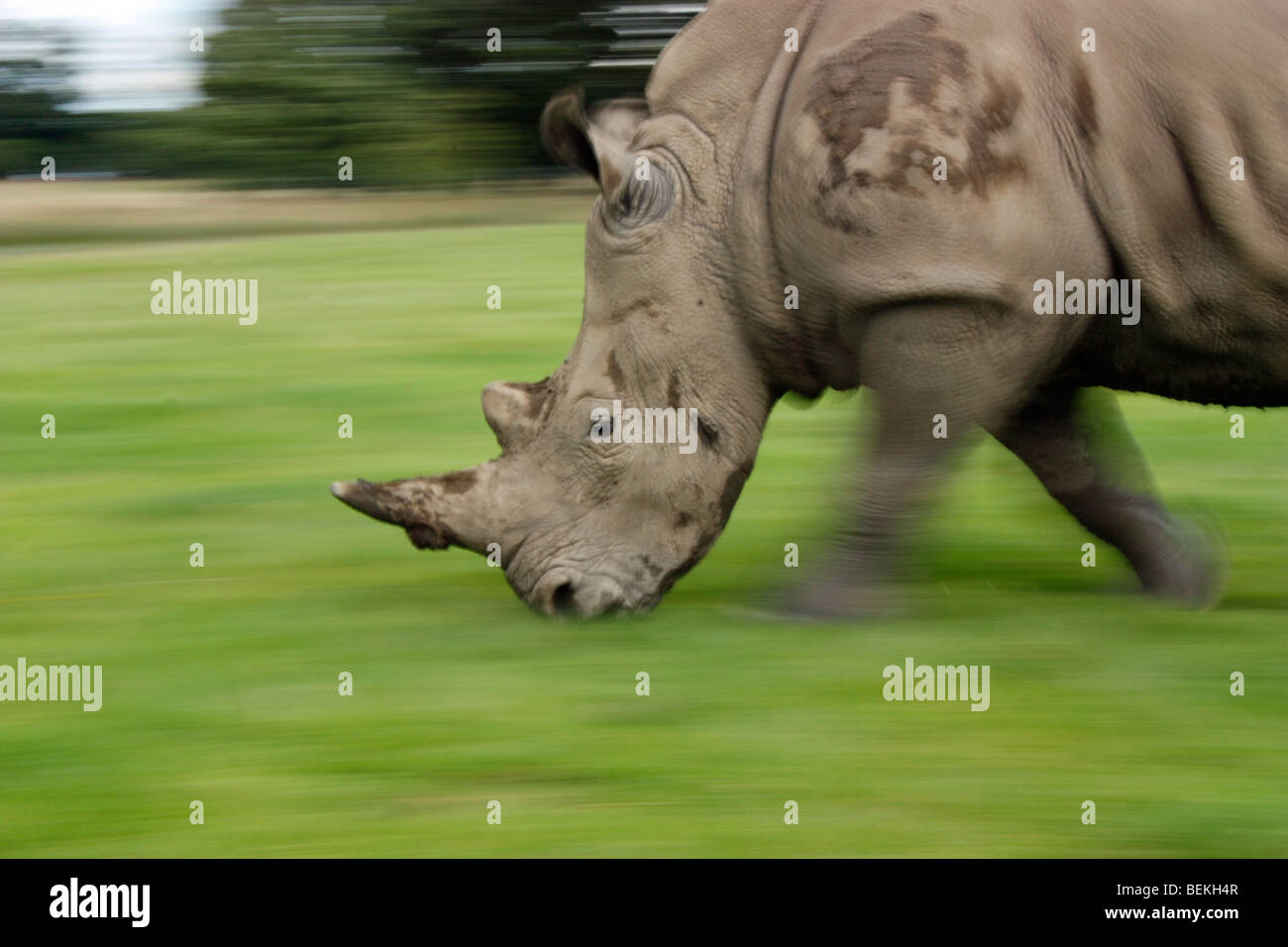 Motion blur effect of a charging white rhino - Stock Image