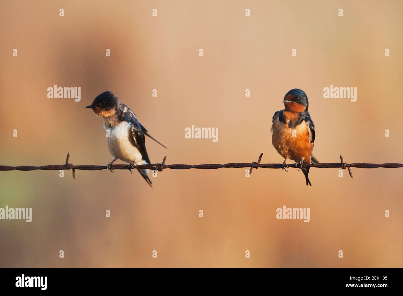Barn Swallow (Hirundo rustica), pair on barbed wire, Sinton, Corpus Christi, Coastal Bend, Texas, USA Stock Photo