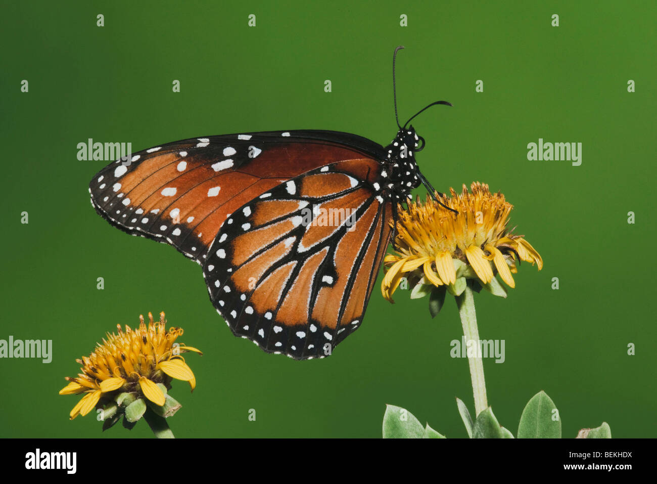 Queen Butterfly (Danaus gilippus), adult feeding on flower, Sinton, Coastel Bend, Texas, USA - Stock Image
