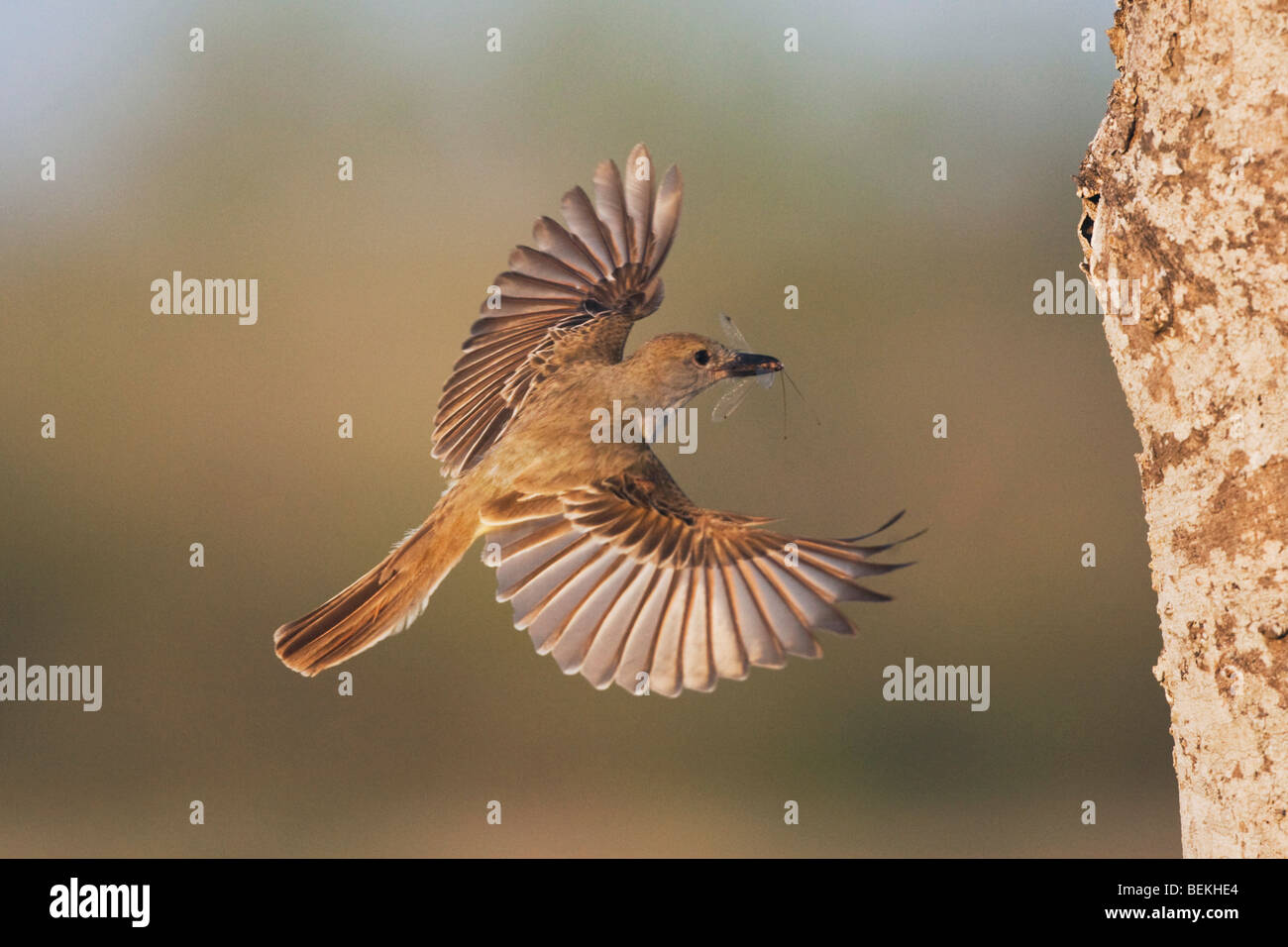 Brown-crested Flycatcher (Myiarchus tyrannulus), adult in flight with prey, Sinton, Corpus Christi, Coastal Bend, - Stock Image