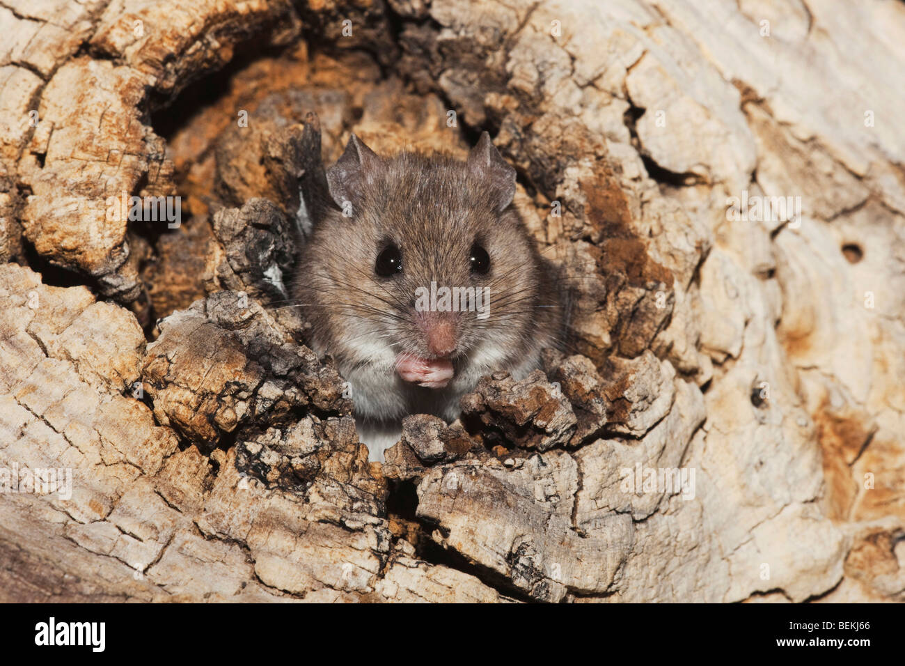 White-footed Mouse (Peromyscus leucopus), adult in tree hole, Sinton, Corpus Christi, Coastal Bend, Texas, USA - Stock Image