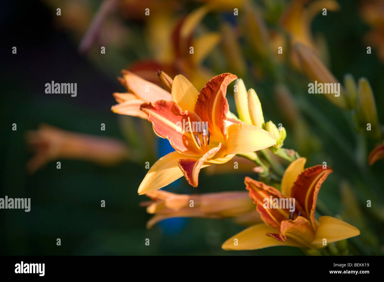 Day Lilies - Stock Image