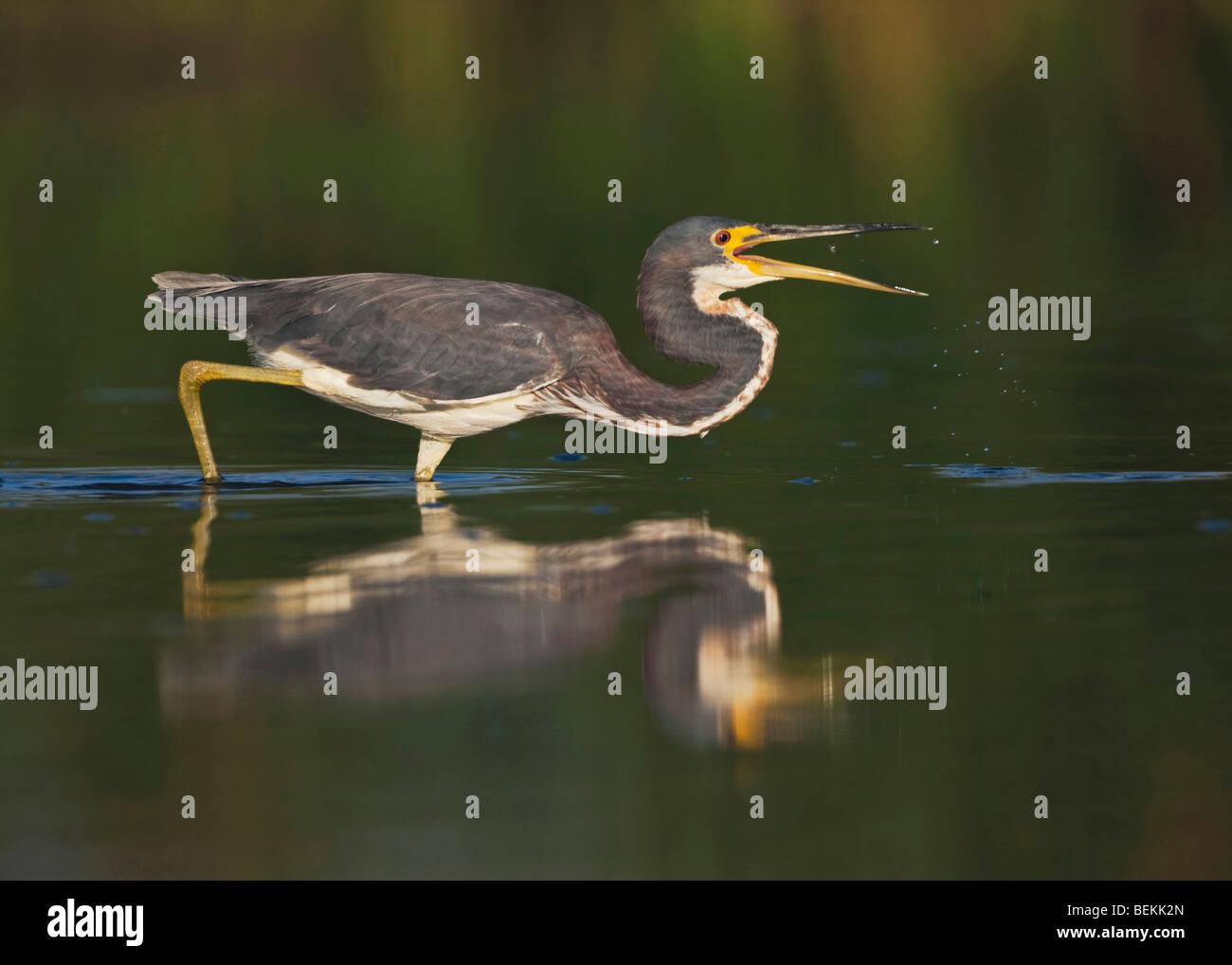 Tricolored Heron (Egretta tricolor), adult fishing, Sinton, Corpus Christi, Coastal Bend, Texas, USA - Stock Image