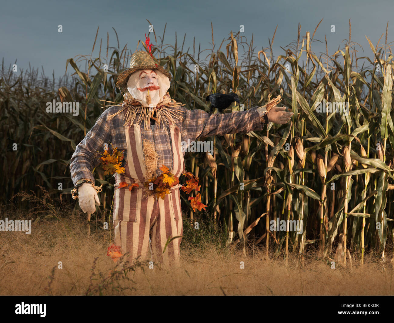 Scarecrow character in a corn field in fall - Stock Image