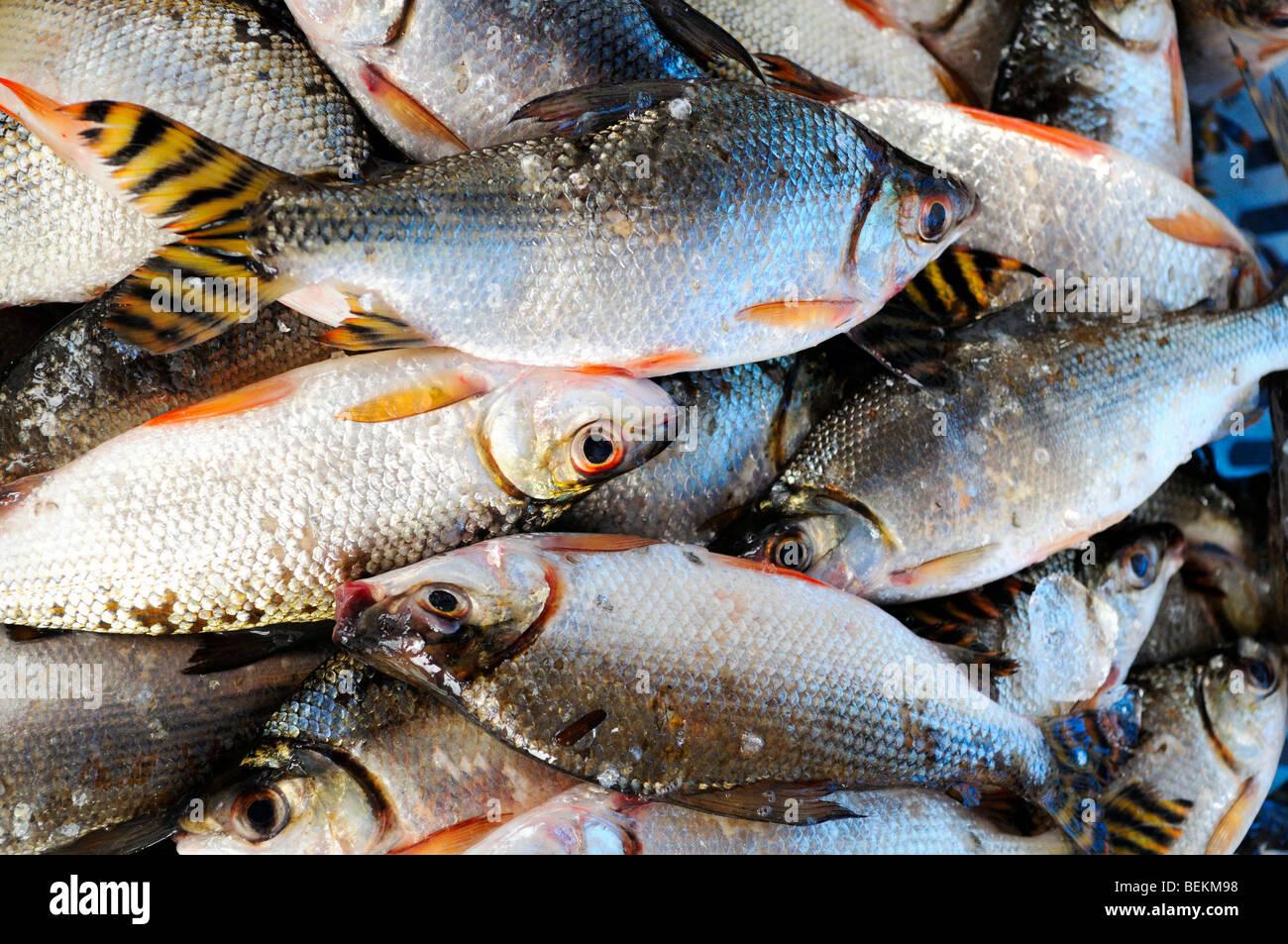Jaraqui. Amazon region fish. - Stock Image