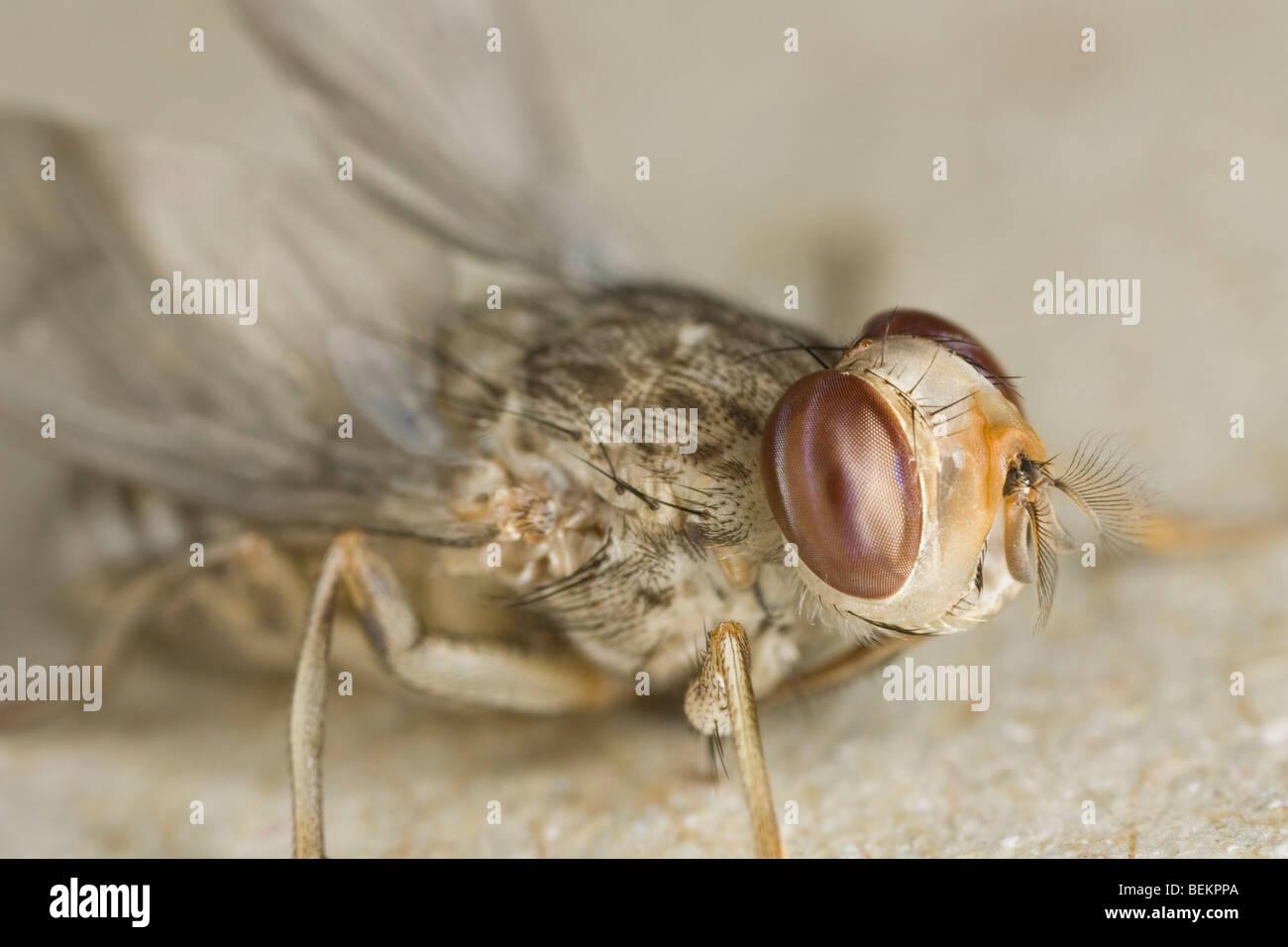 newly eclosed male Savannah Tsetse fly (Glossina morsitans morsitans) - Stock Image