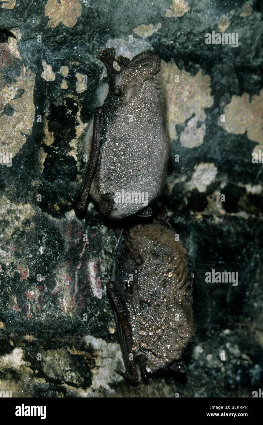 Daubenton's bat (Myotis daubentonii) and Whiskered Bat (Myotis mystacinus) in icehouse - Stock Image
