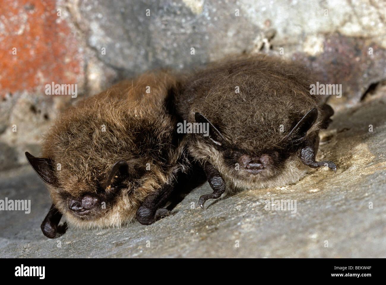 Two Whiskered bats (Myotis mystacinus) hibernating in cellar in winter - Stock Image