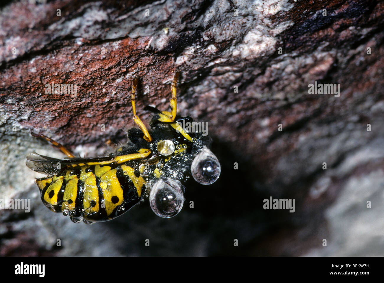 Wasp (Vespidae), hibernating in icehouse, covered in dew - Stock Image