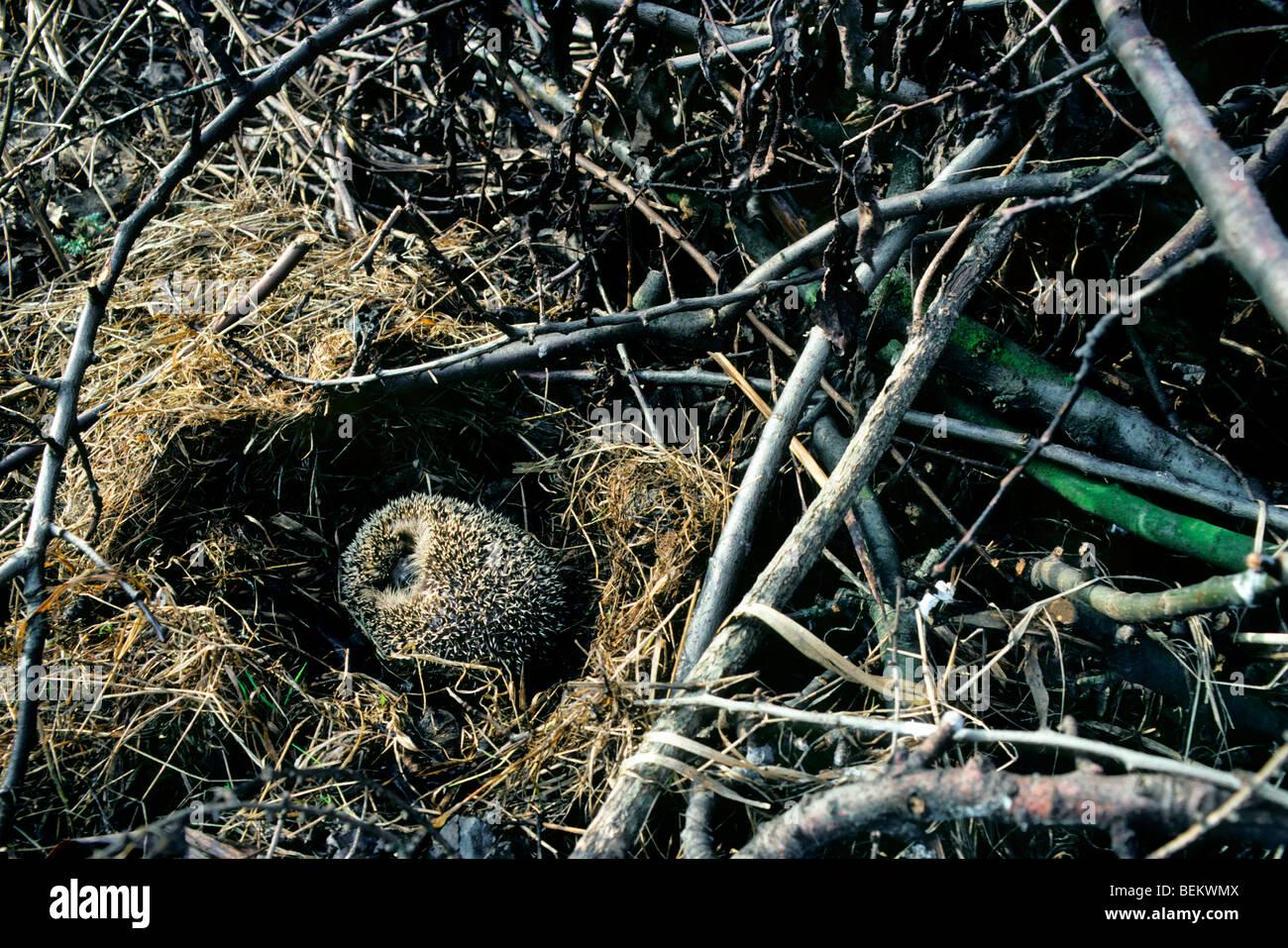 European hedgehog (Erinaceus europaeus) hibernating in nest amongst vegetation in garden - Stock Image