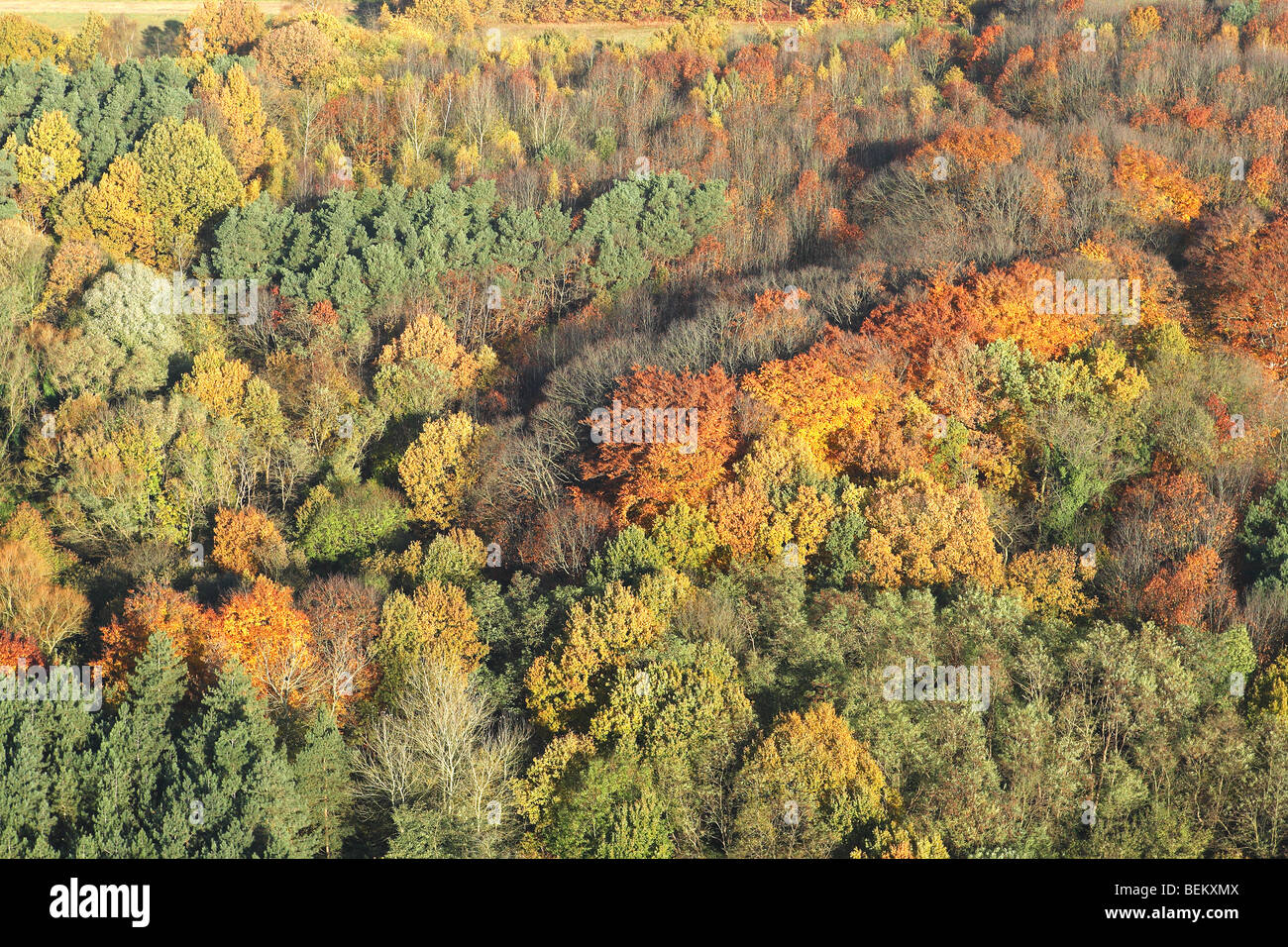 Mixed forest with Oak (Quercus robur) Beech (Fagus sylvatica) and Birches (Betula sp.) with pine forest in autumn - Stock Image