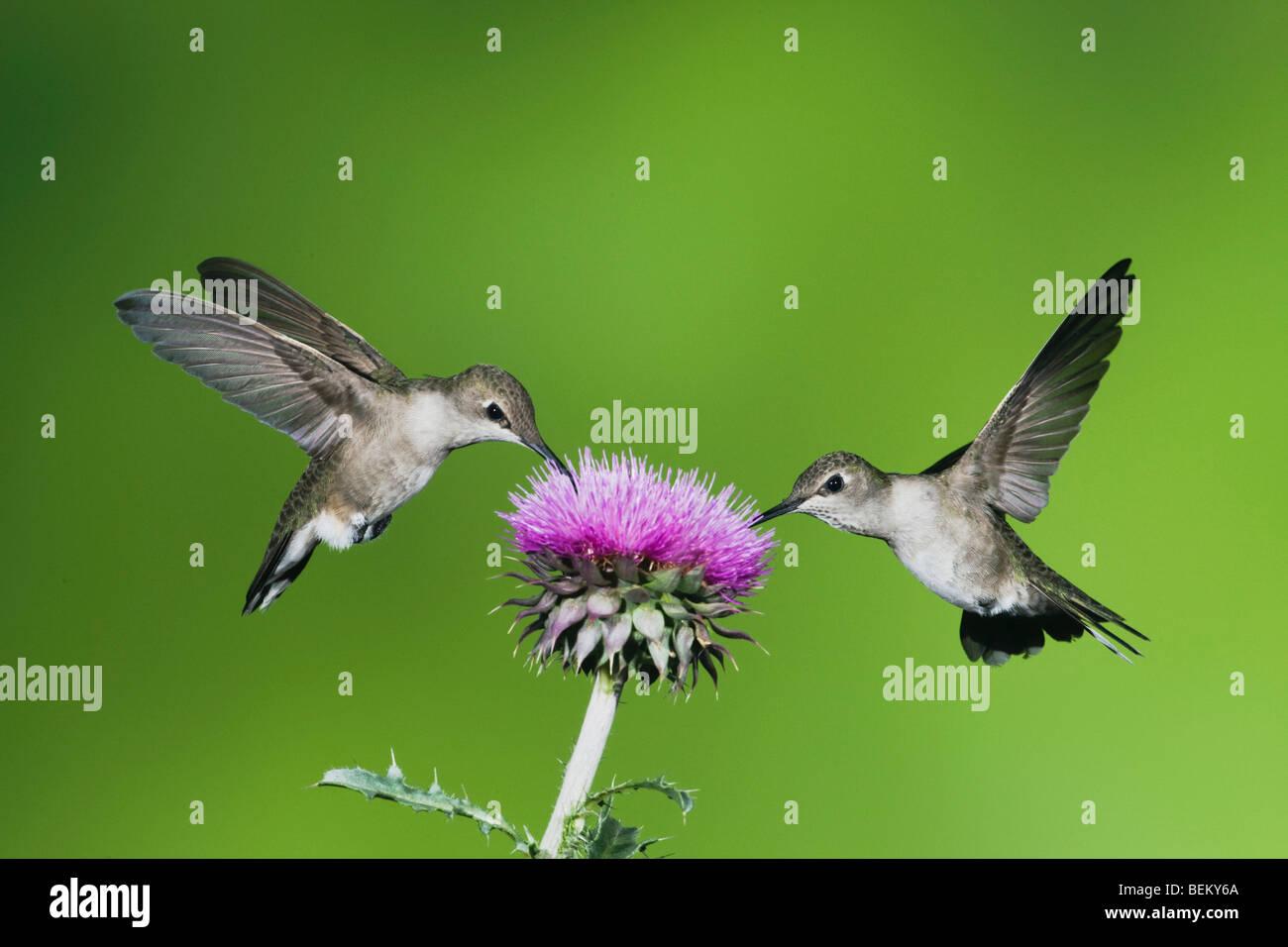 Black-chinned Hummingbird (Archilochus alexandri), females feeding on Texas thistle, Corpus Christi, Coastal Bend, - Stock Image