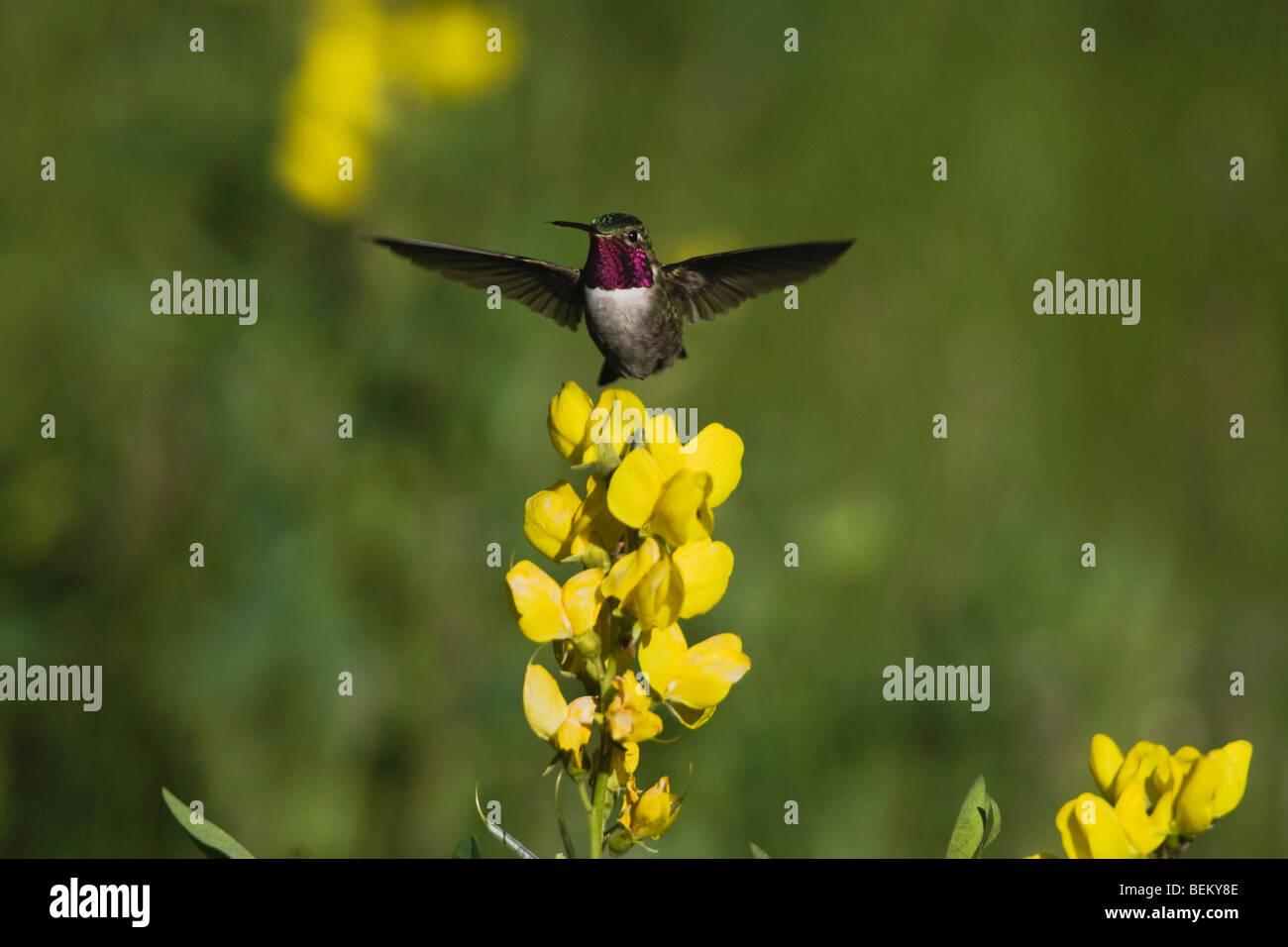 Broad-tailed Hummingbird (Selasphorus platycercus),male in flight feeding on flower,Rocky Mountain National Park, - Stock Image