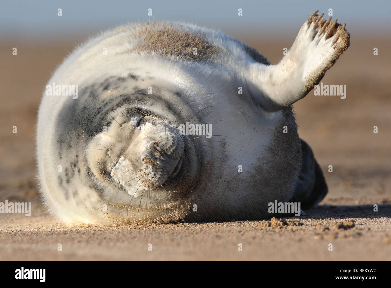 Playing young of Grey seal (Halichoerus grypus) on beach, UK Stock Photo