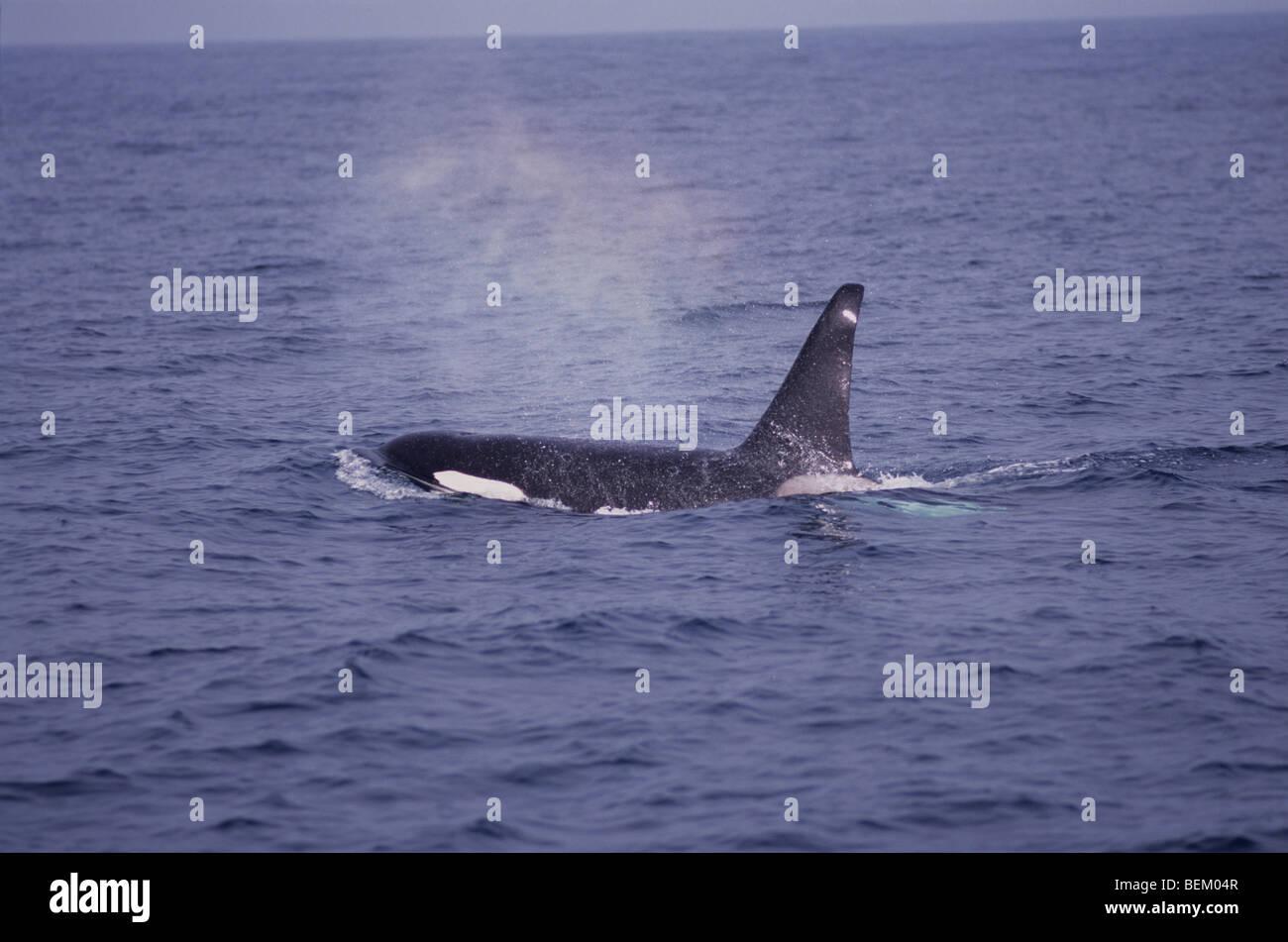 ORCA, KILLER WHALE BREATHING, MONTEREY BAY, CALIFORNIA, U.S.A. Stock Photo