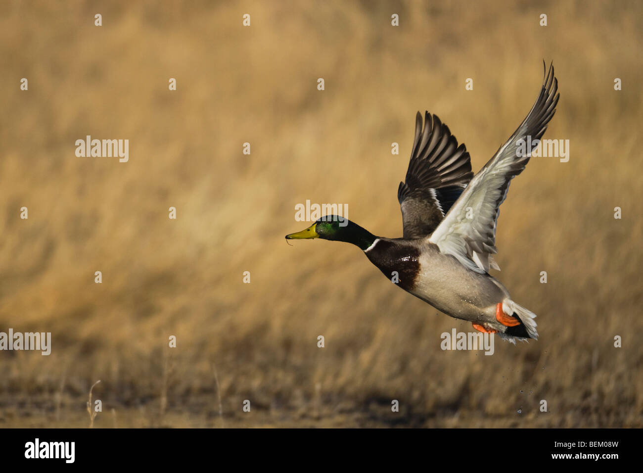 Mallard (Anas platyrhynchos), male taking off, Bosque del Apache National Wildlife Refuge , New Mexico, USA, - Stock Image