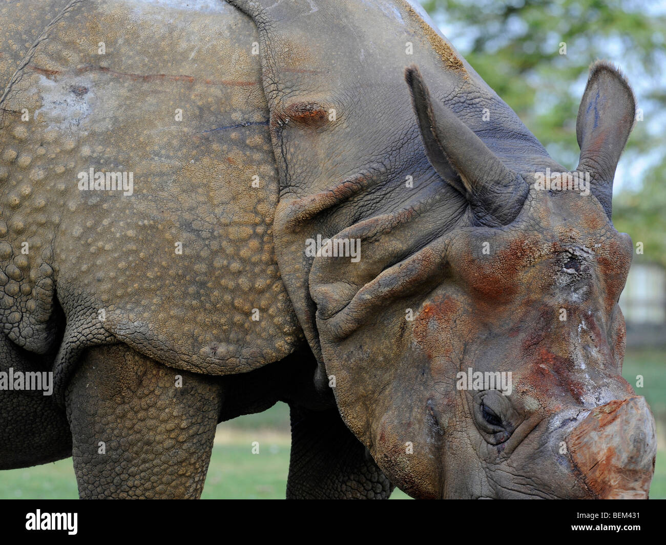 A rhino, covered in armour plating - Stock Image