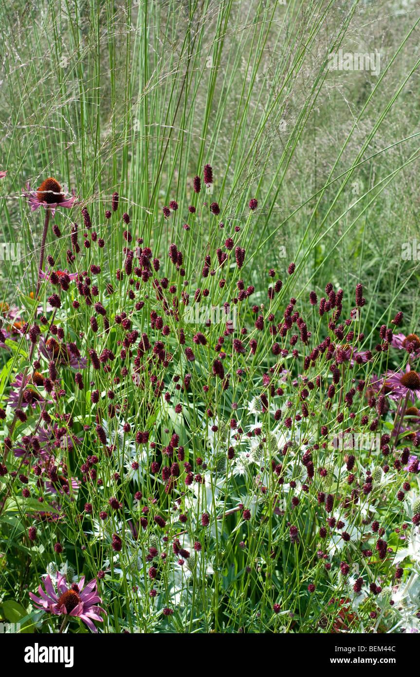 Sanguisorba officinalis RED THUNDER and Molinia caerulea subsp. arundinacea KARL FOERSTER - Stock Image