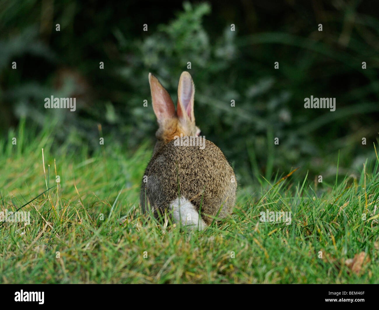 The back view of a small wild brown rabbit. - Stock Image