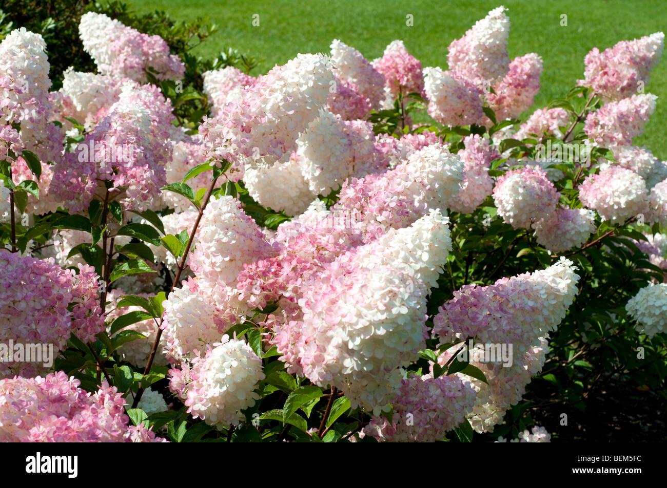 hydrangea paniculata vanille fraise renhy stock photo 26258944 alamy. Black Bedroom Furniture Sets. Home Design Ideas